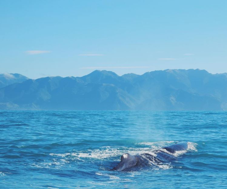 Sperm whale surfacing in Kaikoura, New Zealand