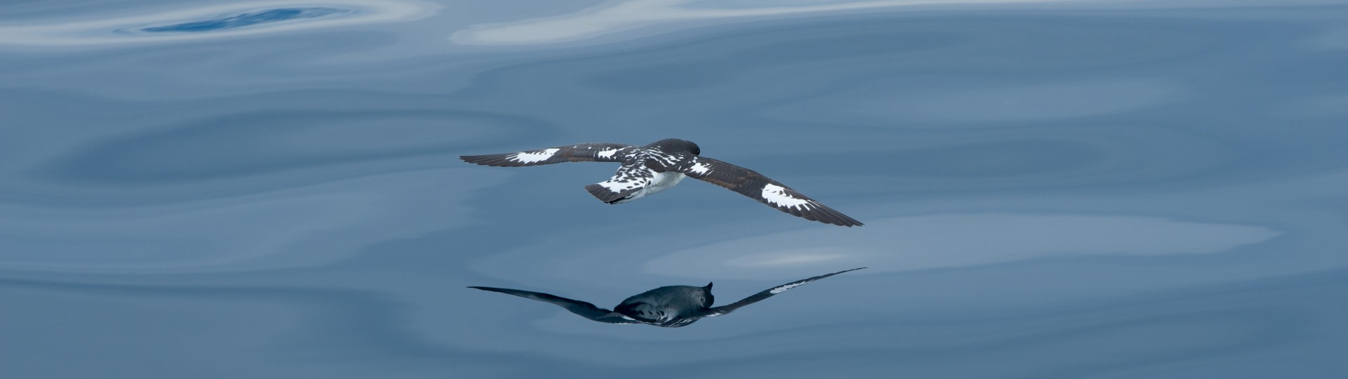 Marine bird Cape Petrel spotted in Kaikoura, New Zealand