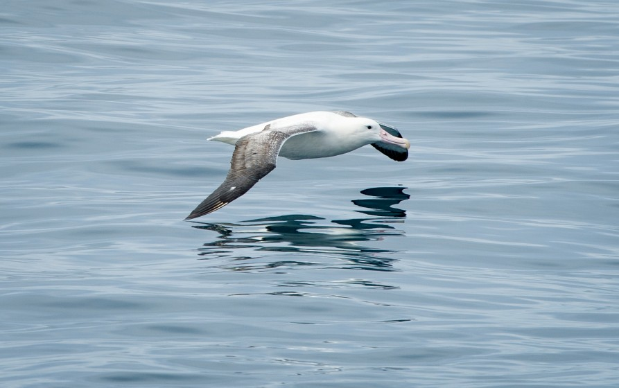 Kaikōura marine birds. A royal albatross skimming the surface of the ocean water