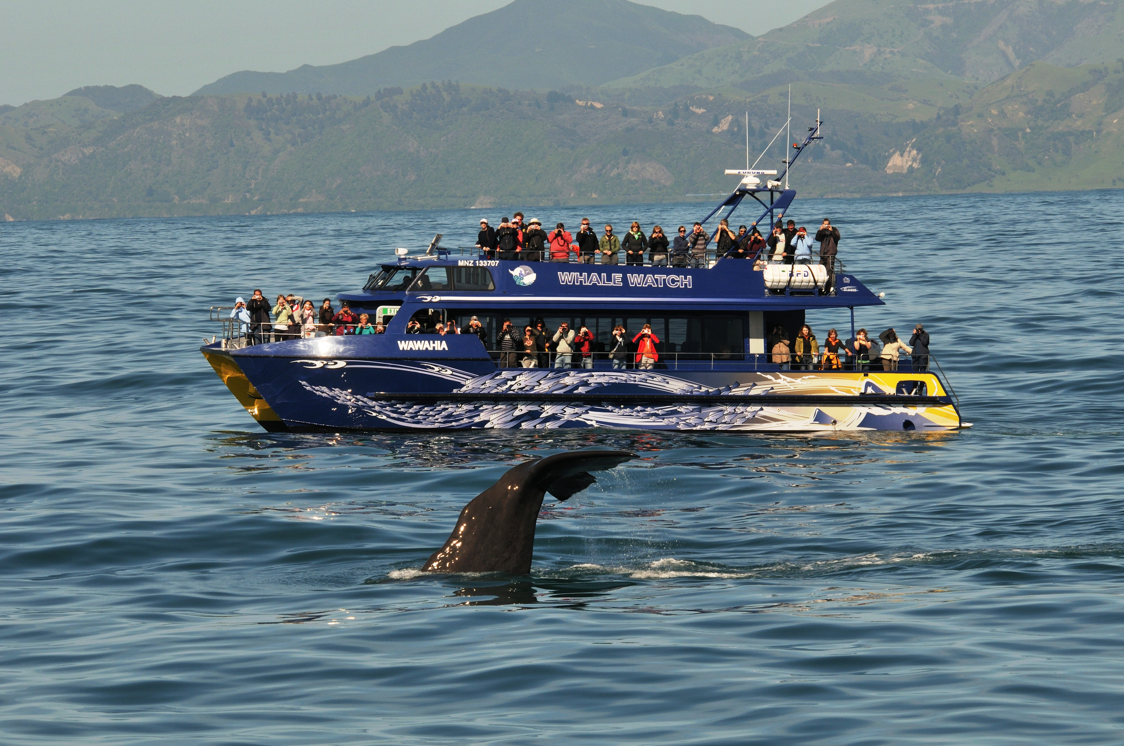 whale watch kaikoura Two days ago we had a humpback whale surface feeding which is not behaviour we get to see in #kaikoura very often, in fact for most of our sea crew this was a first.
