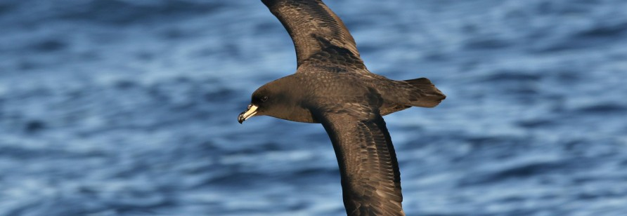 Westland Petrel by Richard Bonser BirdGuides